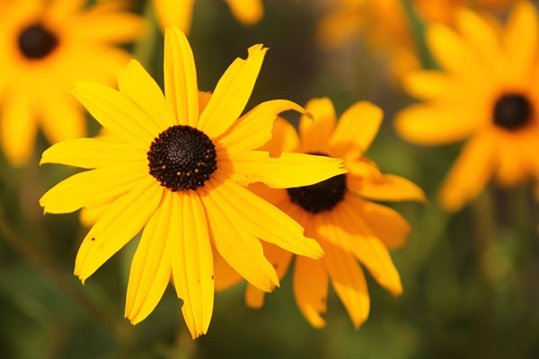 Honoring the Black-eyed Susan